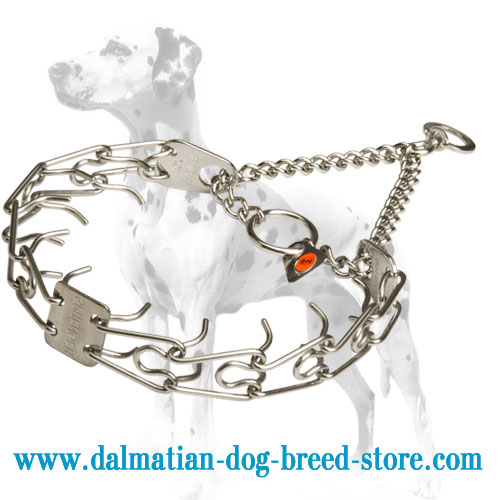 Dalmatian dog pinch collar for obedience training