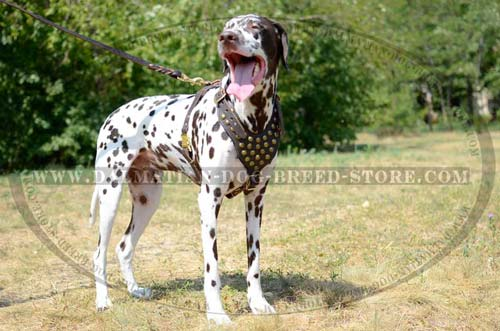 Quality leather dog harness for Dalmatian