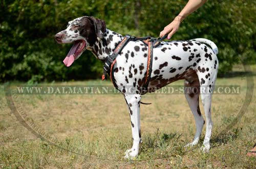 Comfy harness for Dalmatian
