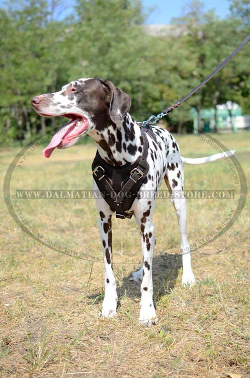 Durable Dalmatian Leather Harness
