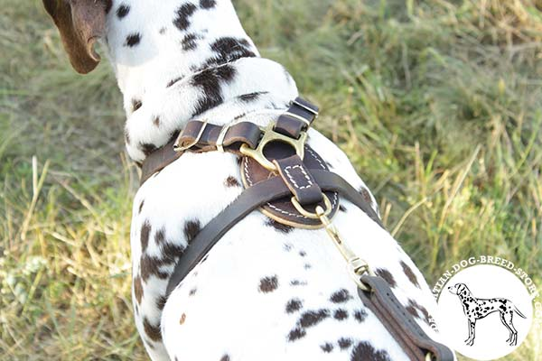 Dalmatian black leather harness snugly fitted with quick release buckle for pulling activity