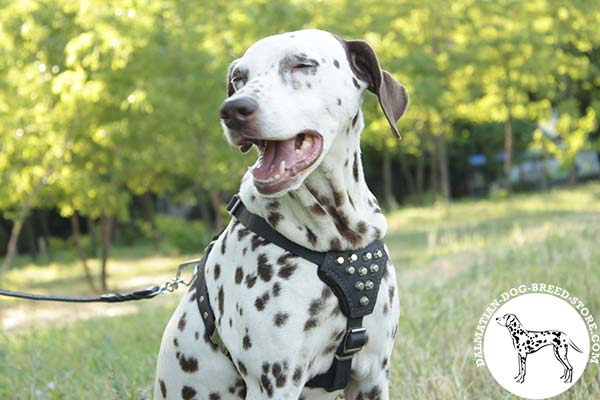 Dalmatian black leather harness with rust-proof fittings for basic training