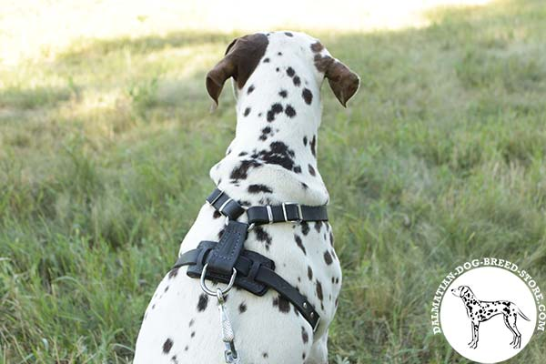 Dalmatian black leather harness with non-corrosive nickel plated hardware for professional use
