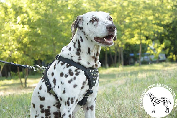 Dalmatian black leather harness with rust-proof hardware for agitation training