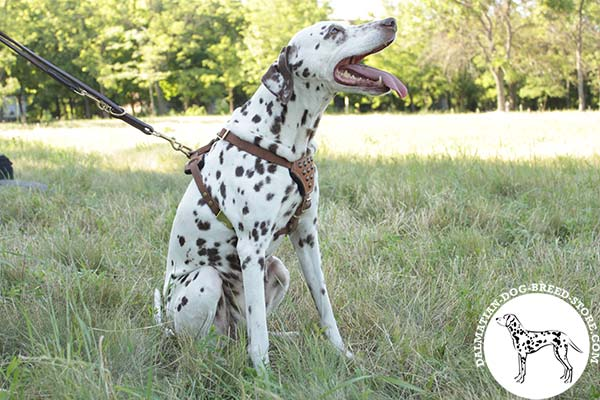 Dalmatian tan leather harness with duly riveted studs for daily walks