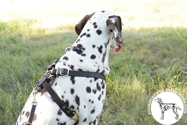 Dalmatian black leather harness of classy design with brass plated fittings for agitation training