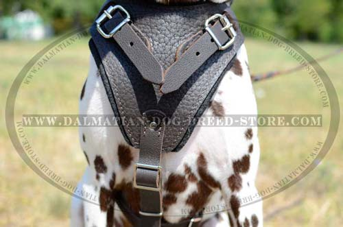 Brown Dalmatian leather harness with padded chest plate