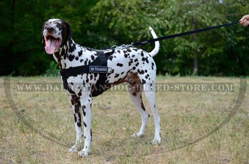 Strong harness for Dalmatian daily activities