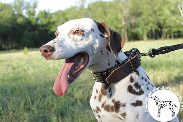 Dalmatian leather leash of genuine materials with brass plated hardware for daily activity
