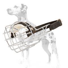 Dalmatian incredibly strong muzzle