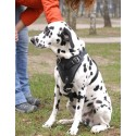 Ultimate Comfort with Padded Leather Dog Harness for Dalmatian breed